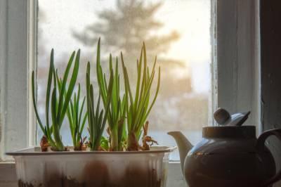 Как выращивать зелёный лук в квартире?