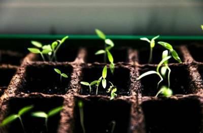 Как поливать рассаду сразу после всходов из семян, чтобы её не повредить? 2 «нежных» способа